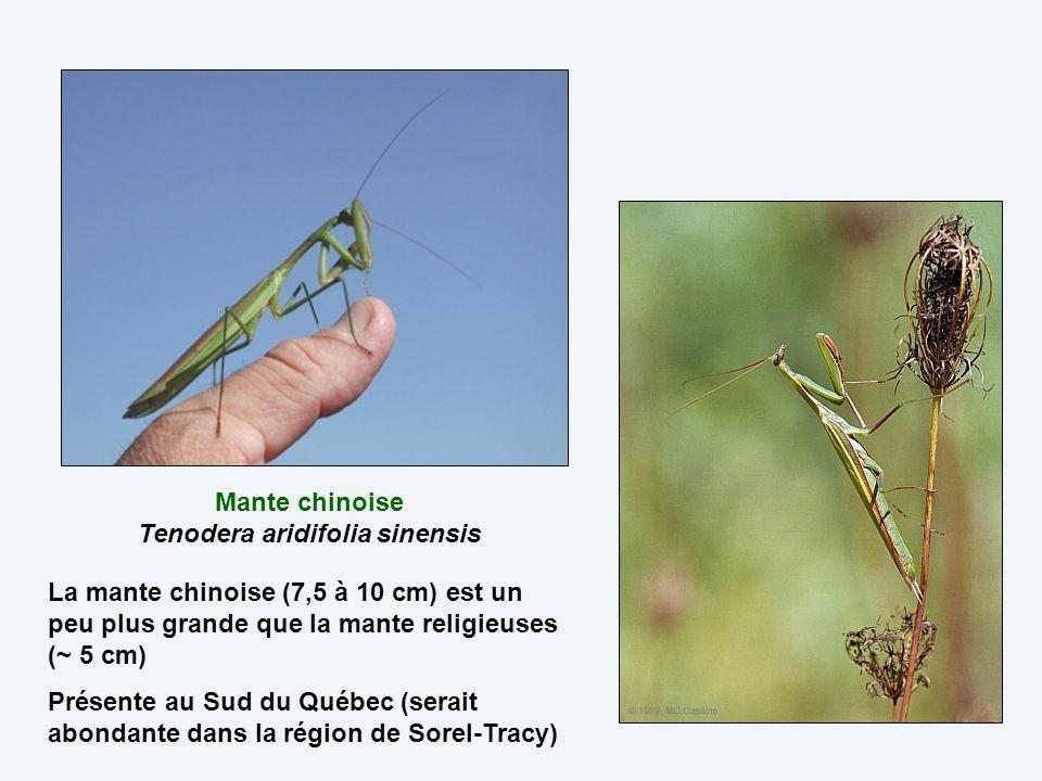 Mante chinoise Tenodera aridifolia sinensis