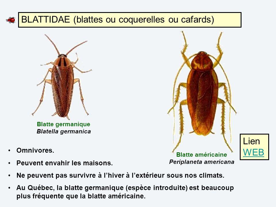 BLATTIDAE (blattes ou coquerelles ou cafards)