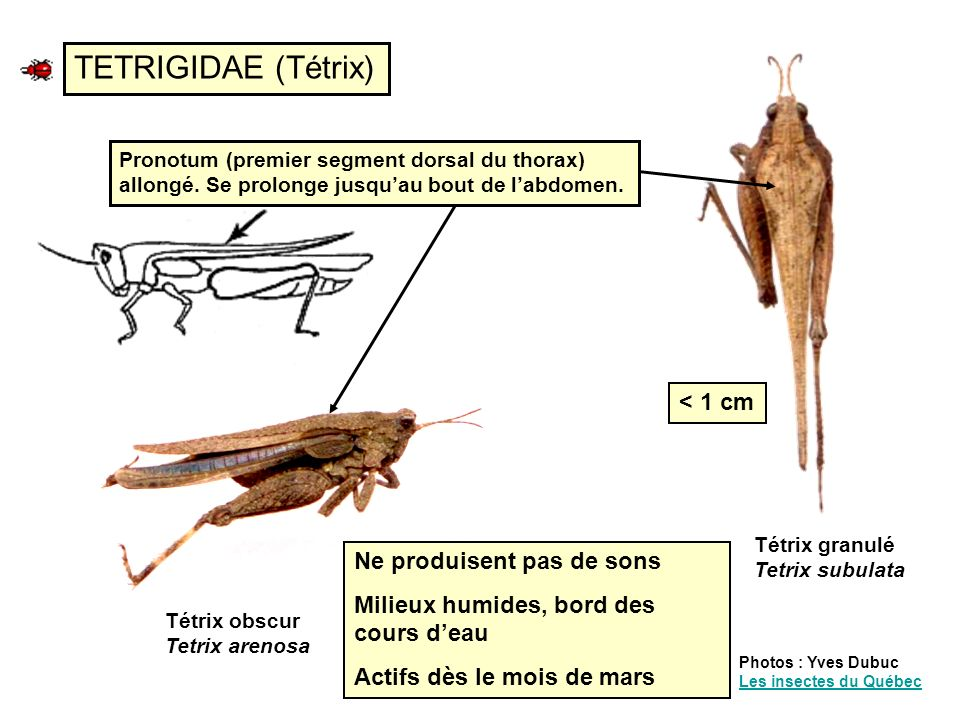TETRIGIDAE (Tétrix) < 1 cm Ne produisent pas de sons