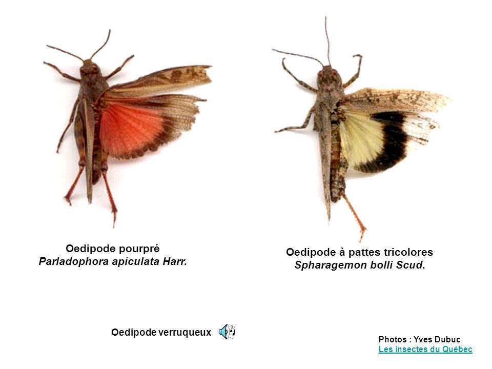 Oedipode pourpré Parladophora apiculata Harr.