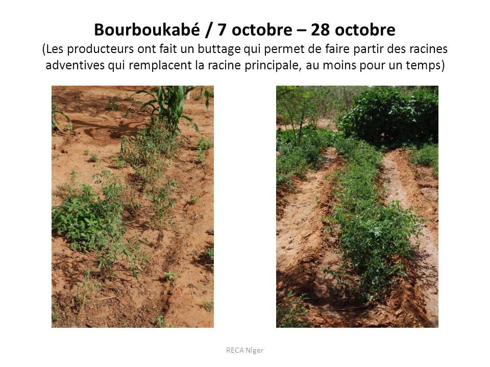 Bourboukabé / 7 octobre – 28 octobre (Les producteurs ont fait un buttage qui permet de faire partir des racines adventives qui remplacent la racine principale, au moins pour un temps)
