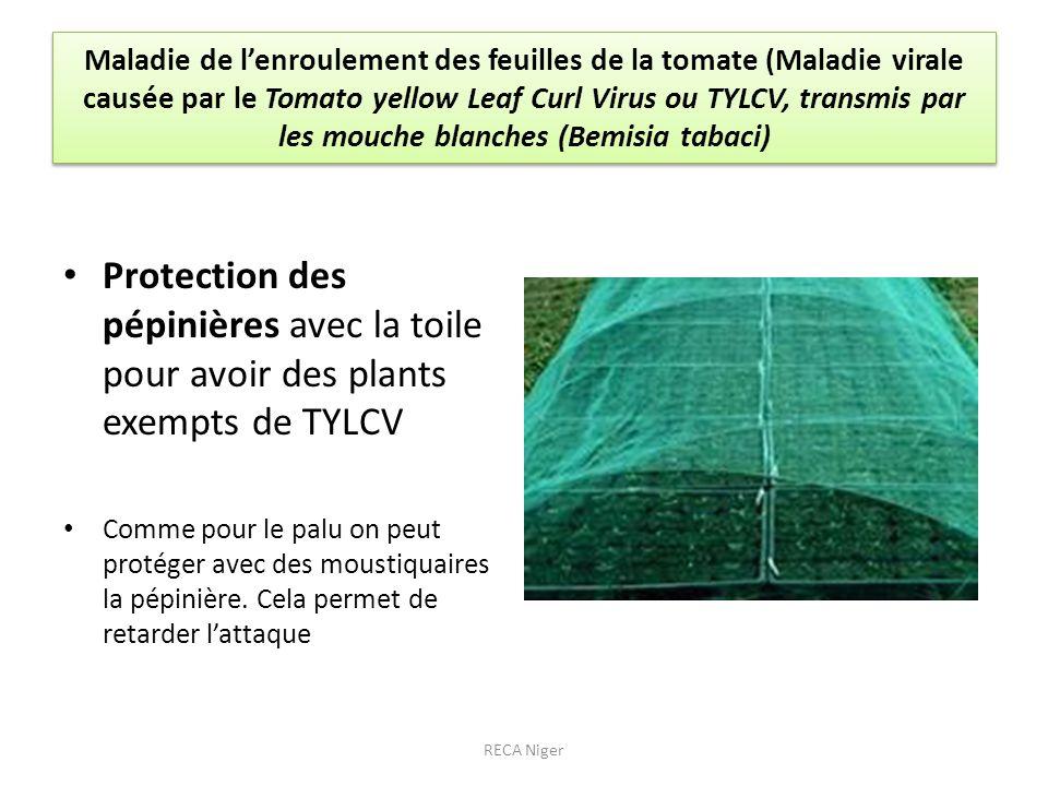 Maladie de l'enroulement des feuilles de la tomate (Maladie virale causée par le Tomato yellow Leaf Curl Virus ou TYLCV, transmis par les mouche blanches (Bemisia tabaci)