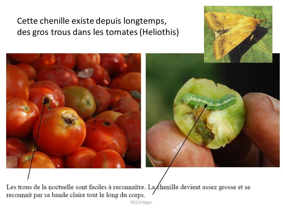 Cette chenille existe depuis longtemps, des gros trous dans les tomates (Heliothis)