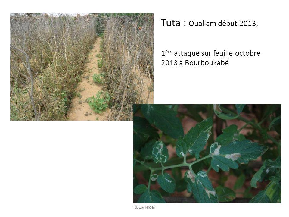 Tuta : Ouallam début 2013, 1ère attaque sur feuille octobre 2013 à Bourboukabé