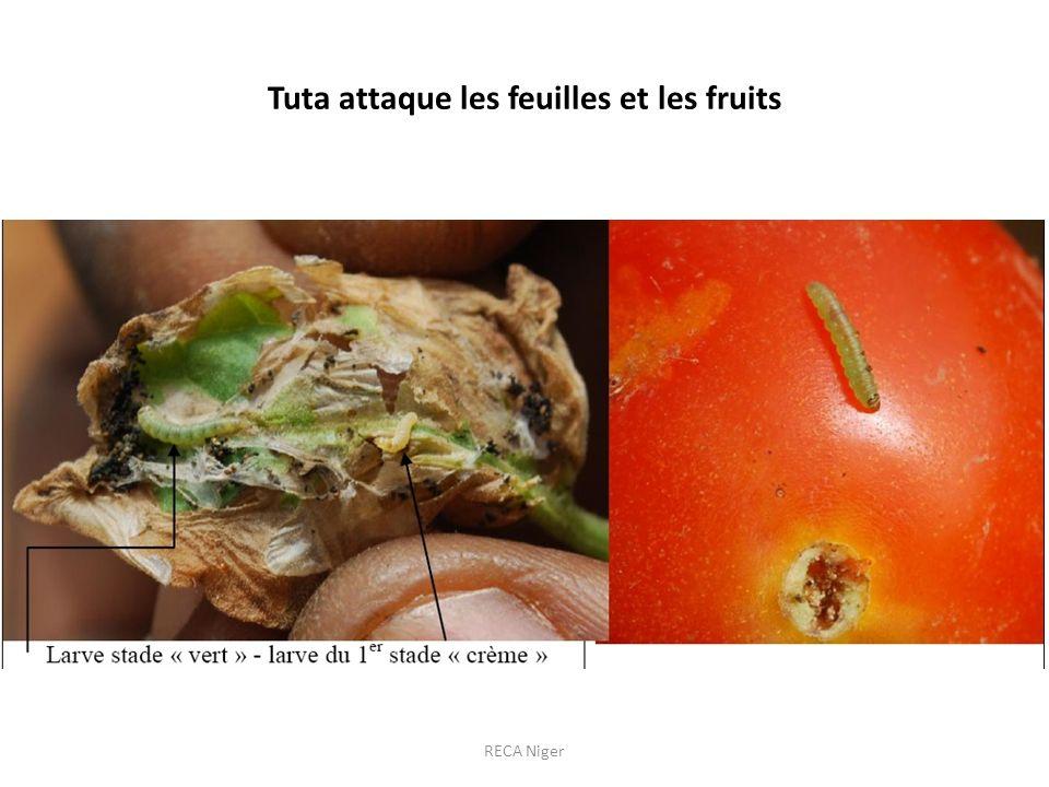 Tuta attaque les feuilles et les fruits
