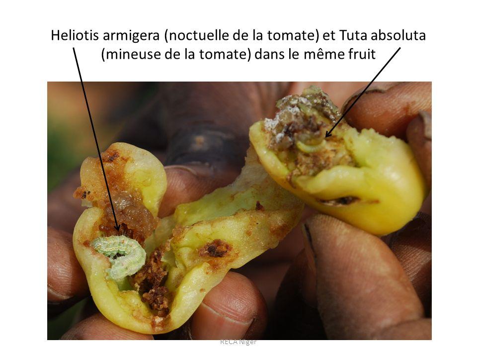 Heliotis armigera (noctuelle de la tomate) et Tuta absoluta (mineuse de la tomate) dans le même fruit