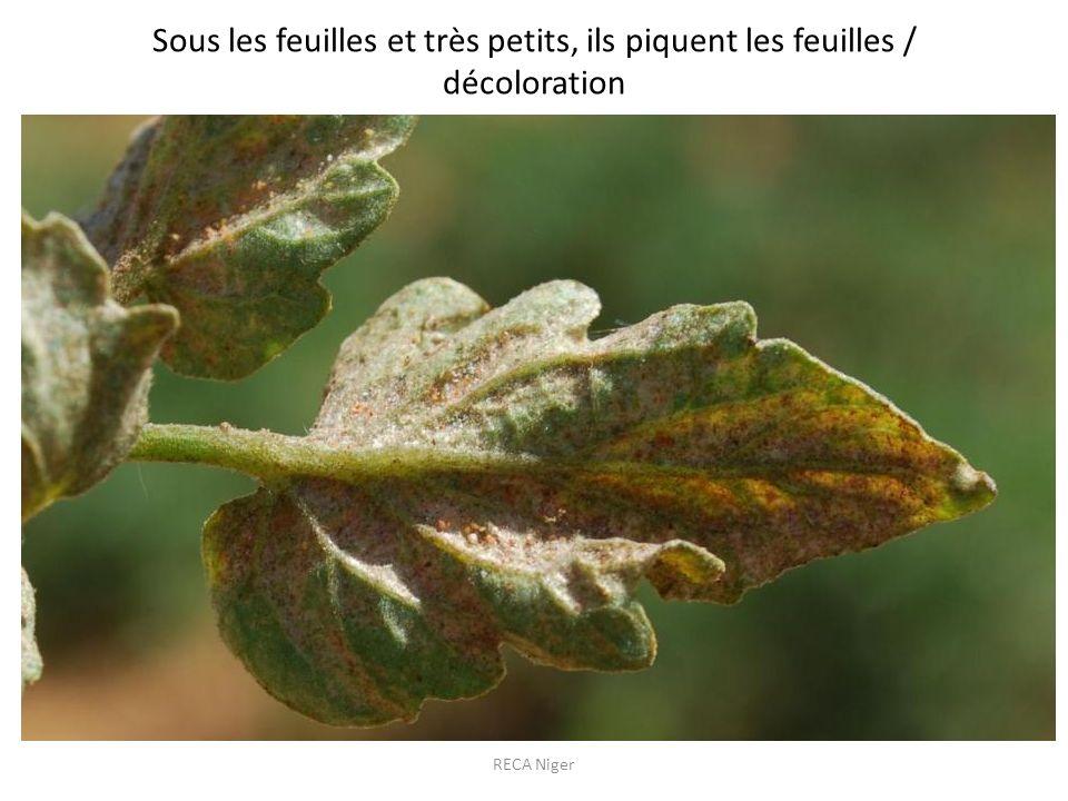 Sous les feuilles et très petits, ils piquent les feuilles / décoloration