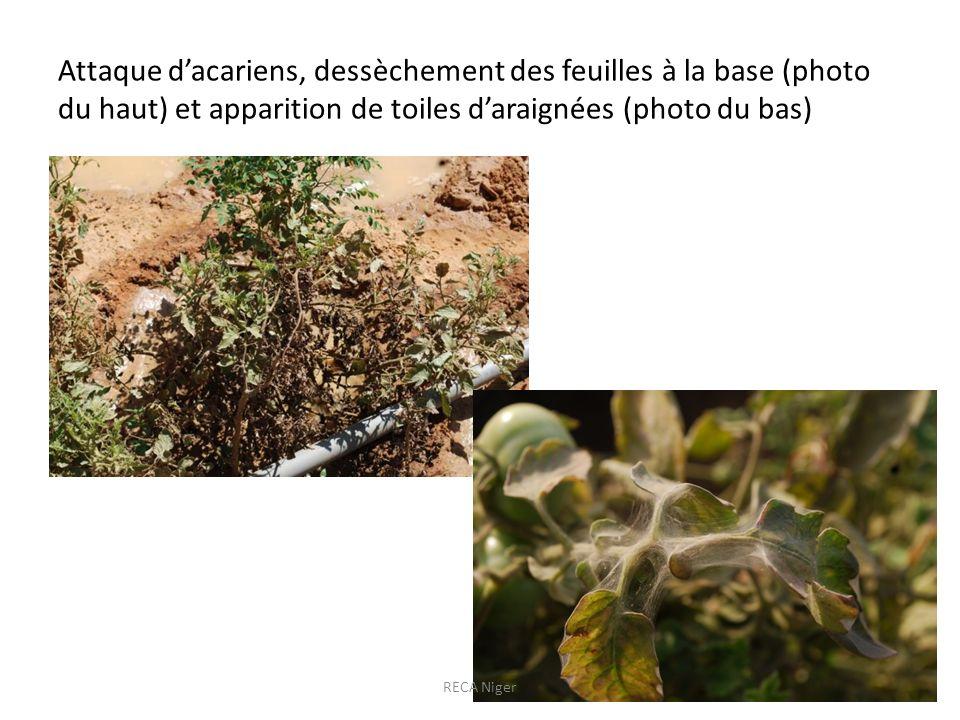 Attaque d'acariens, dessèchement des feuilles à la base (photo du haut) et apparition de toiles d'araignées (photo du bas)