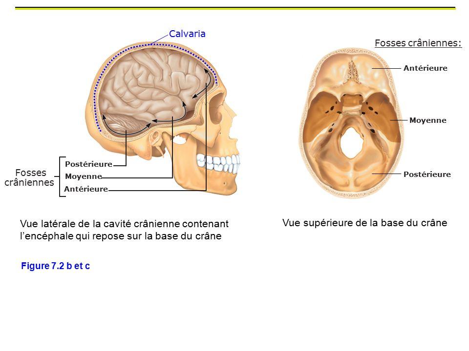 Vue supérieure de la base du crâne