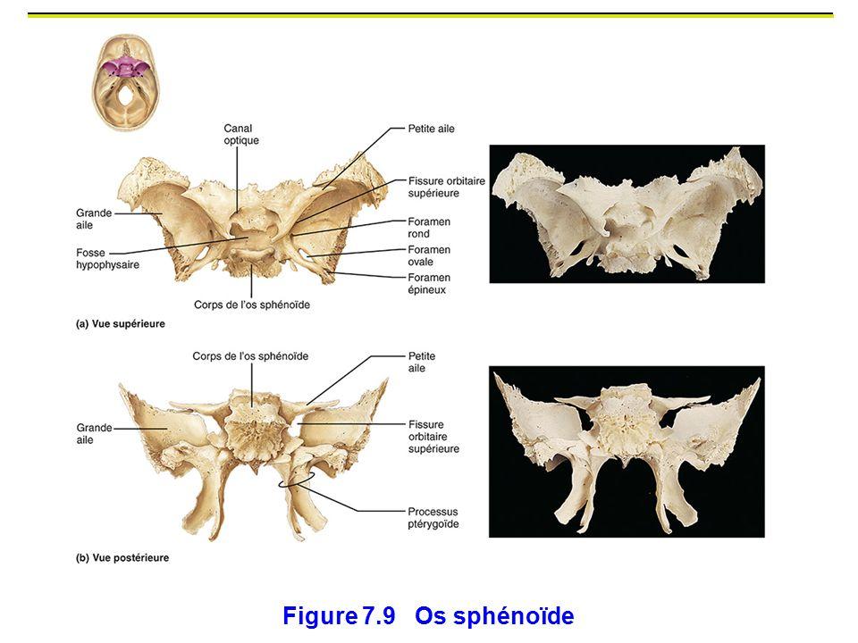 Figure 7.9 Os sphénoïde Centrale et symétrique