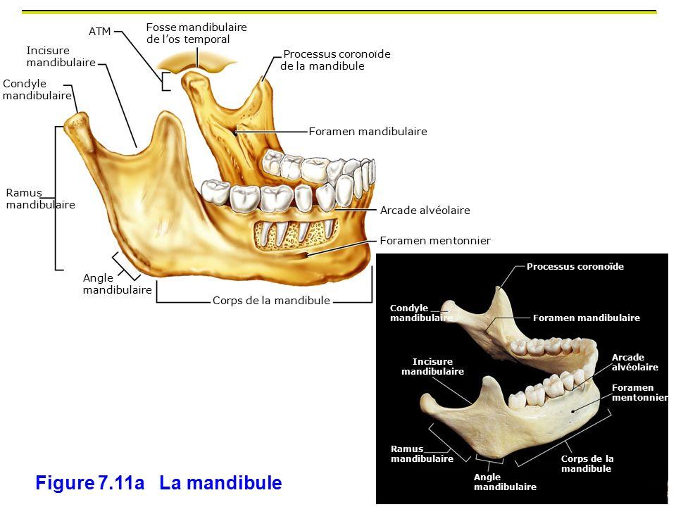 Incisure mandibulaire