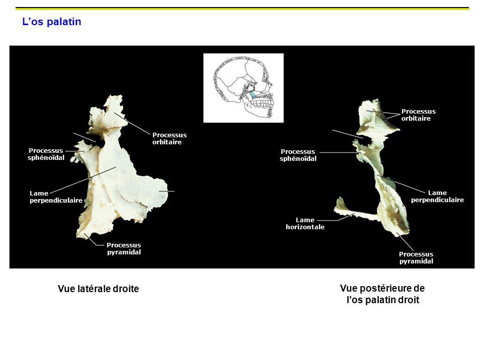 Vue postérieure de l'os palatin droit