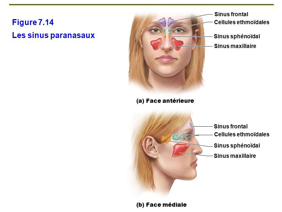 Figure 7.14 Les sinus paranasaux Sinus frontal Cellules ethmoïdales