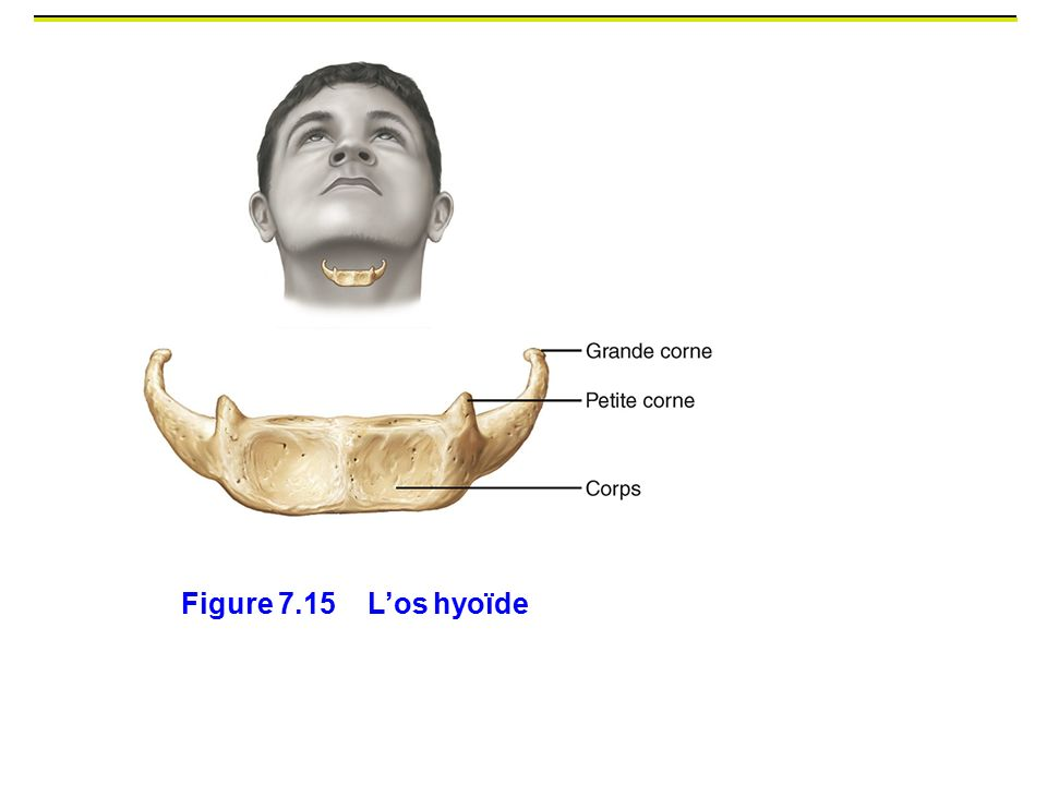 Figure 7.15 L'os hyoïde En forme du « U », os du cou
