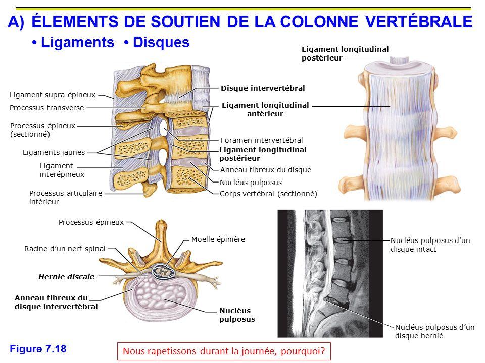 A) ÉLEMENTS DE SOUTIEN DE LA COLONNE VERTÉBRALE