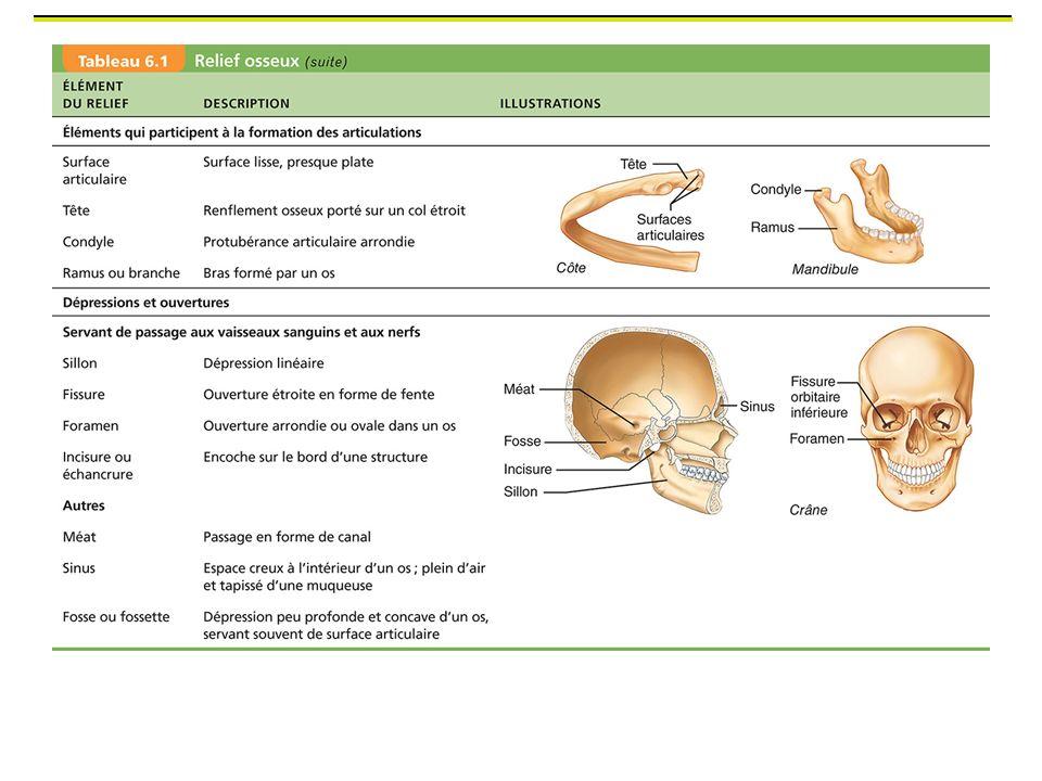 Surface articulaire: surface lisse recouvert habituellement de cartilage articulaire