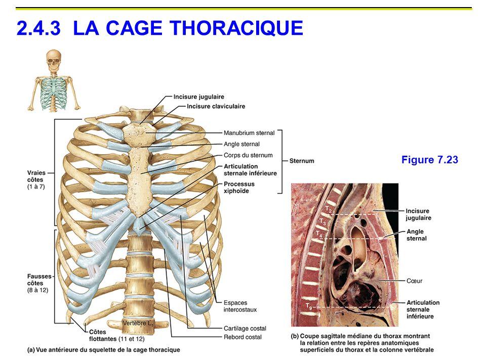 2.4.3 LA CAGE THORACIQUE Figure 7.23