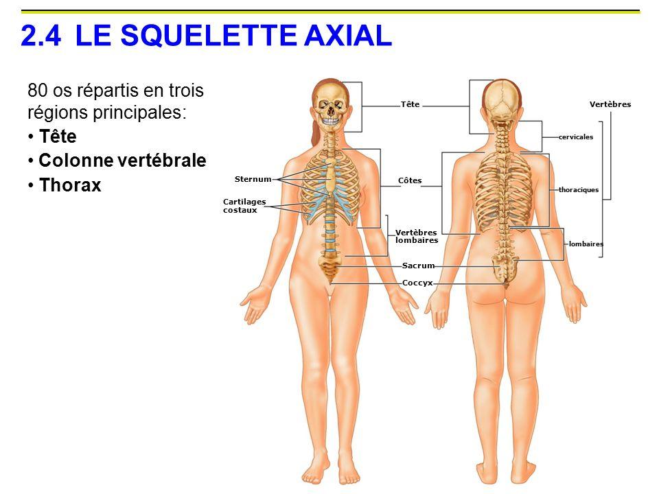 2.4 LE SQUELETTE AXIAL 80 os répartis en trois régions principales: