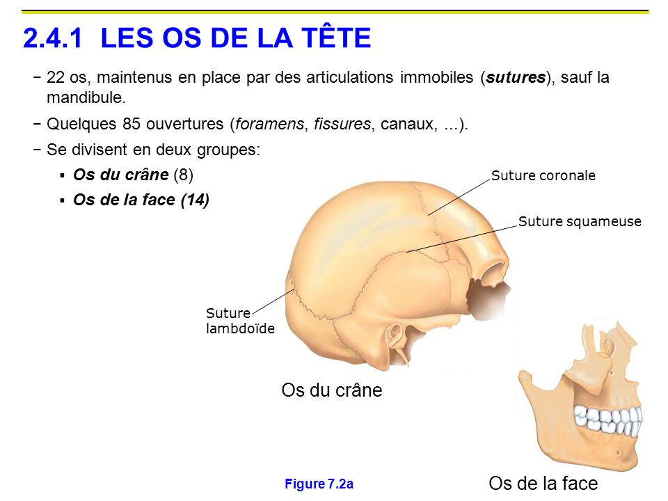 2.4.1 LES OS DE LA TÊTE Os du crâne Os de la face