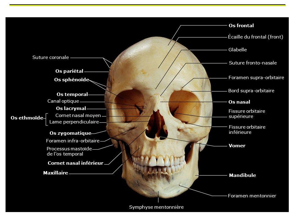 Os frontal Écaille du frontal (front) Glabelle. Suture coronale. Suture fronto-nasale. Os pariétal.