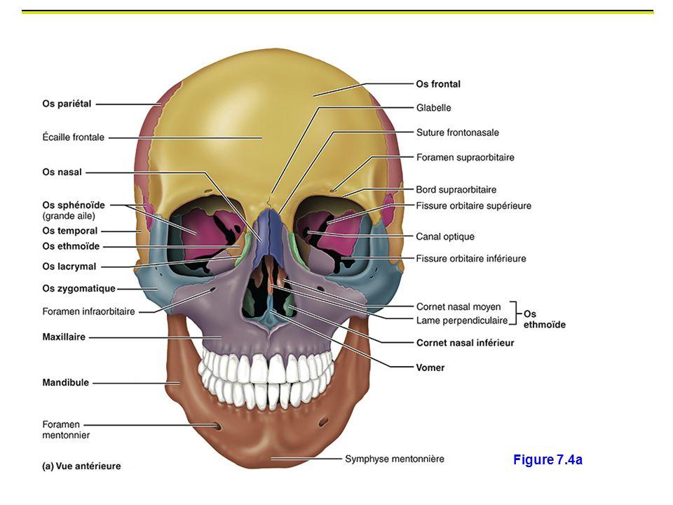 Figure 7.4a Os frontal (protuberance en avant = ecaille)