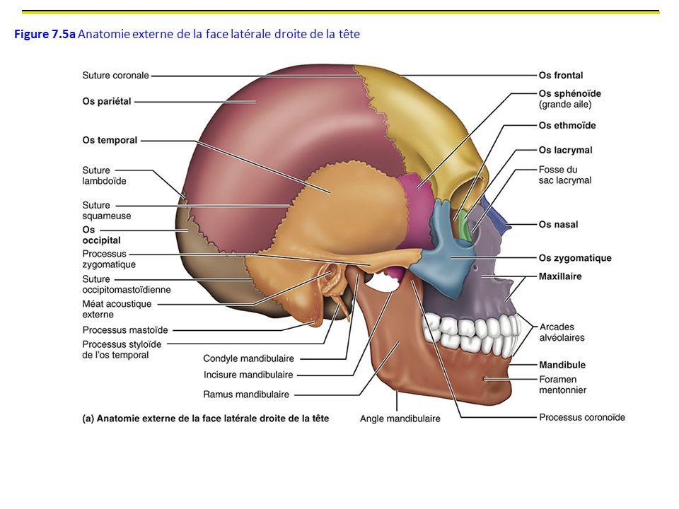 Figure 7.5a Anatomie externe de la face latérale droite de la tête