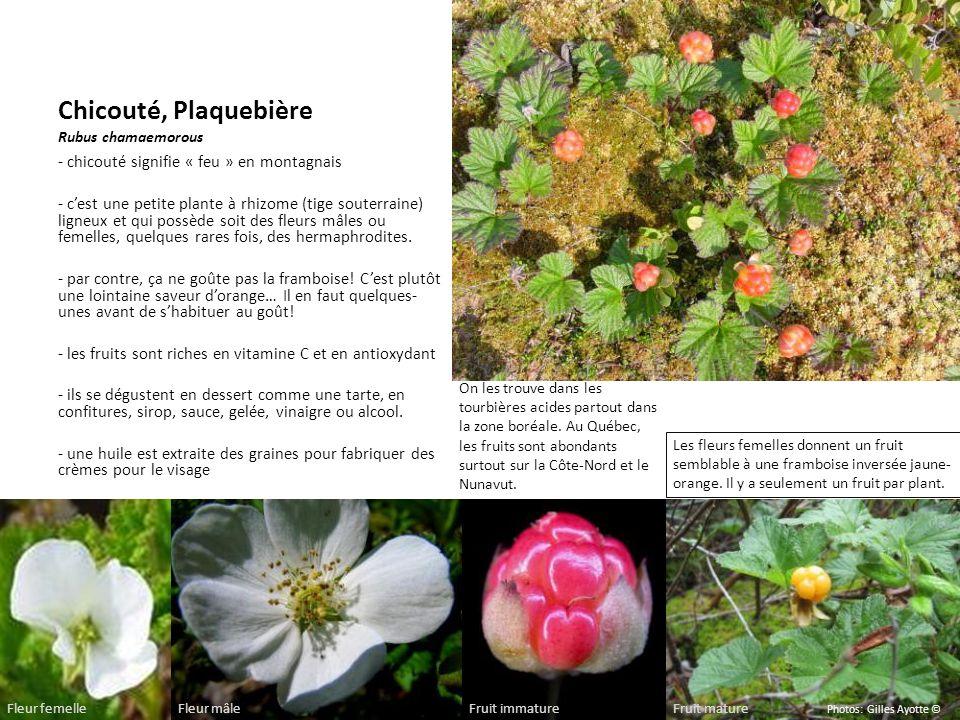 Chicouté, Plaquebière Rubus chamaemorous