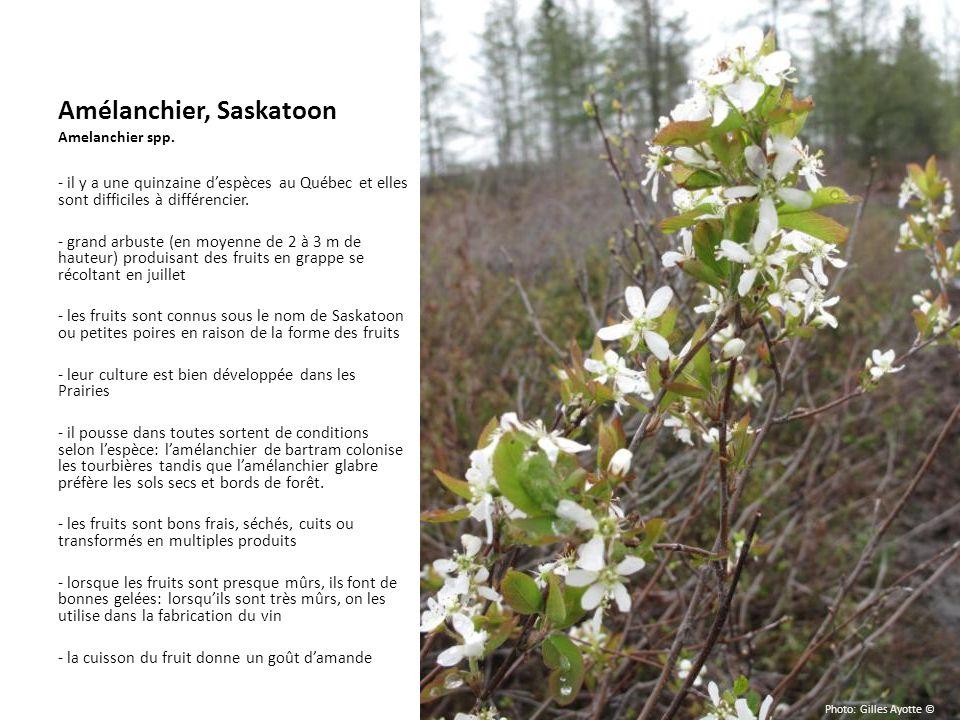 Amélanchier, Saskatoon Amelanchier spp.