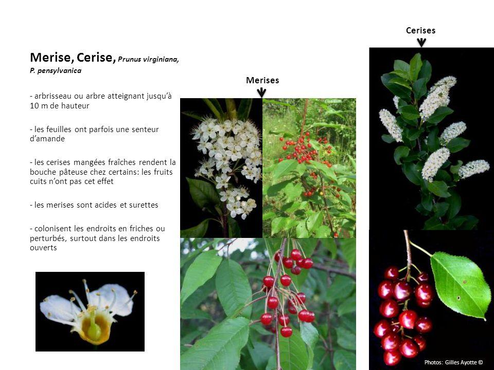 Merise, Cerise, Prunus virginiana, P. pensylvanica