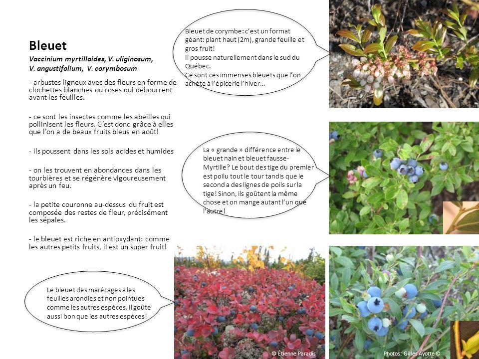 Bleuet de corymbe: c'est un format géant: plant haut (2m), grande feuille et gros fruit!
