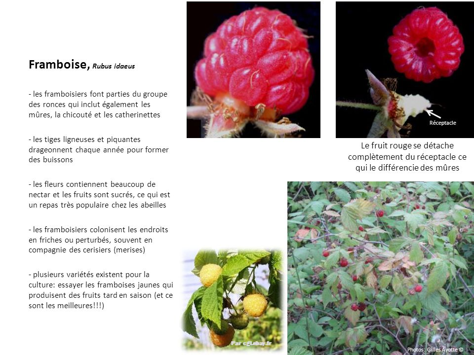 Framboise, Rubus idaeus