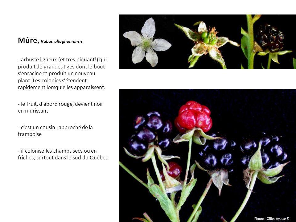 Mûre, Rubus allegheniensis