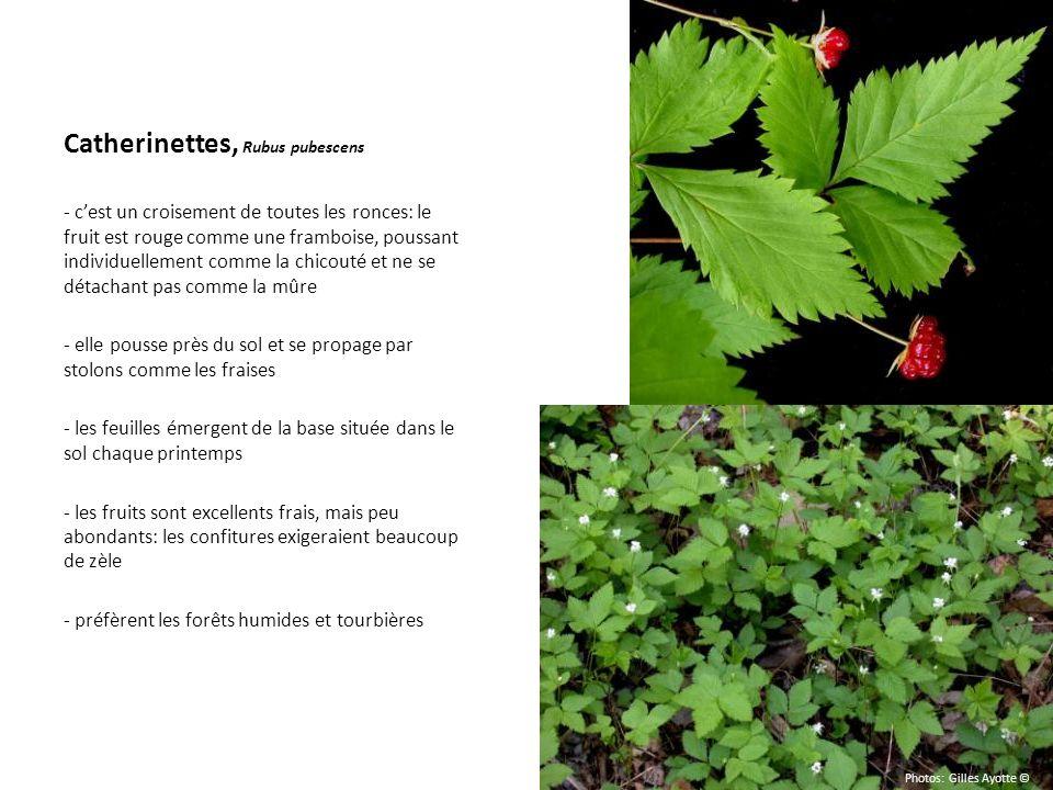 Catherinettes, Rubus pubescens