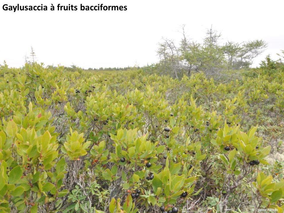 Gaylusaccia à fruits bacciformes