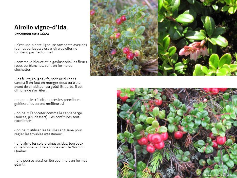 Airelle vigne-d'Ida, Vaccinium vitis-idaea