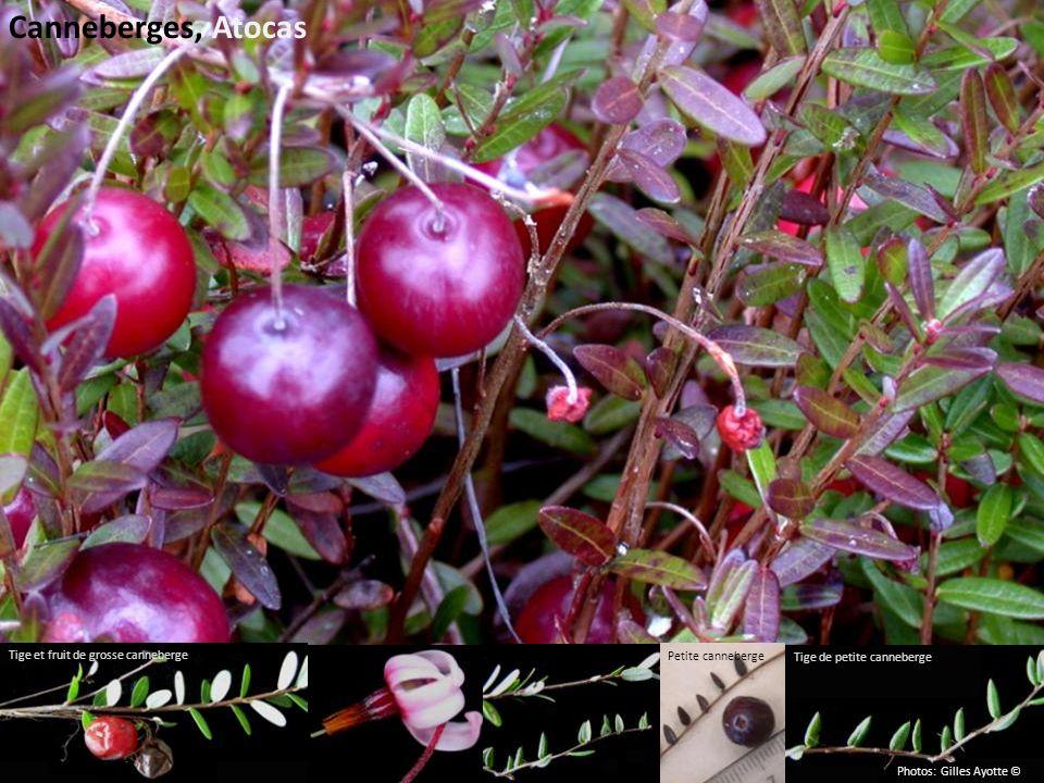 Canneberges, Atocas Tige et fruit de grosse canneberge