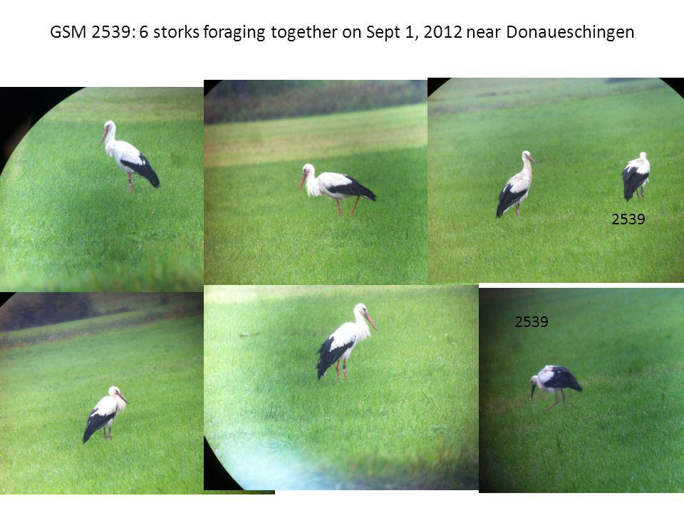 GSM 2539: 6 storks foraging together on Sept 1, 2012 near Donaueschingen