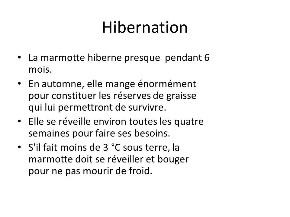 Hibernation La marmotte hiberne presque pendant 6 mois.