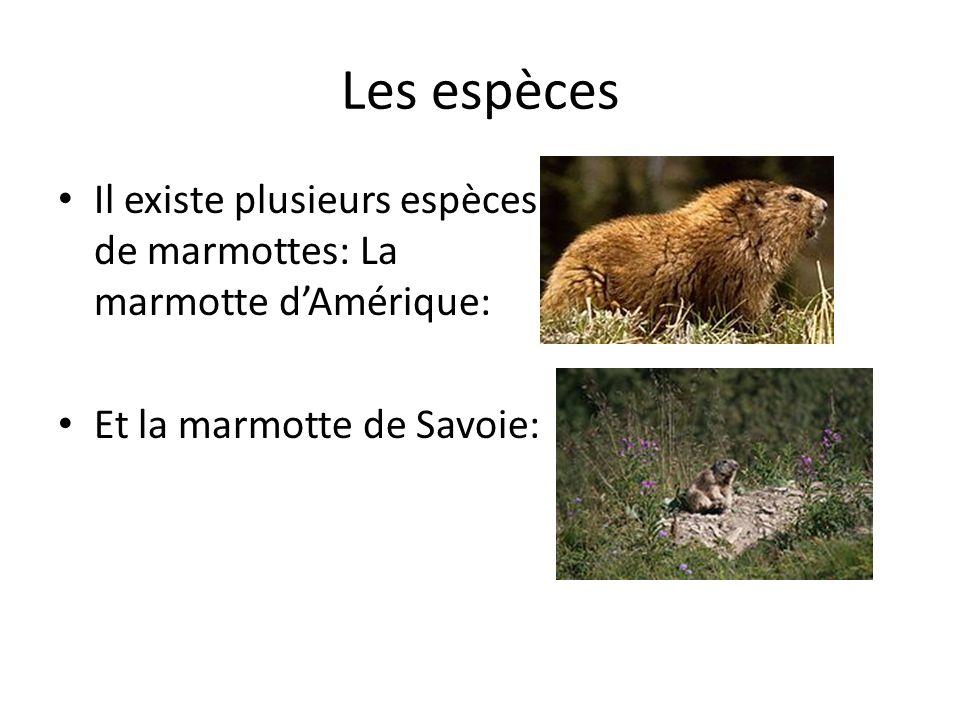 Les espèces Il existe plusieurs espèces de marmottes: La marmotte d'Amérique: Et la marmotte de Savoie: