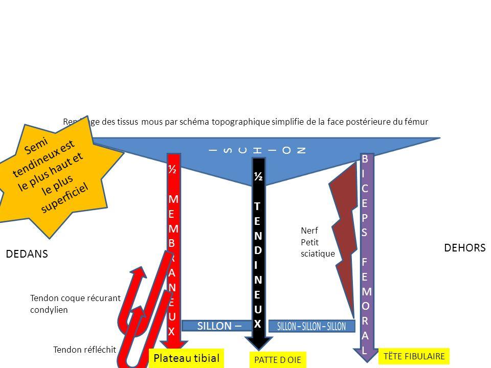 Semi tendineux est le plus haut et le plus superficiel I S C H O N