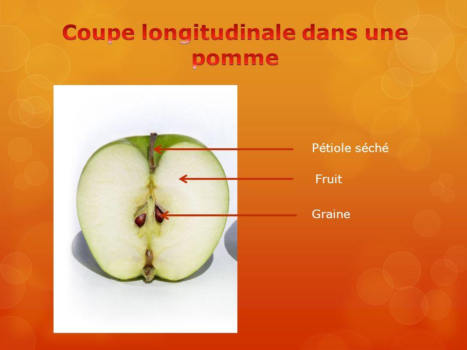 Coupe longitudinale dans une pomme