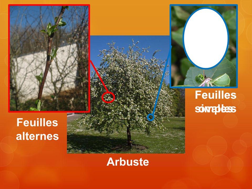 Feuilles simples Feuilles ovales Feuilles alternes Arbuste