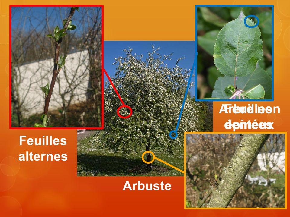 Arbre non épineux Feuilles dentées Feuilles alternes Arbuste