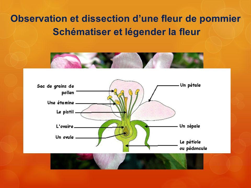 Observation et dissection d'une fleur de pommier