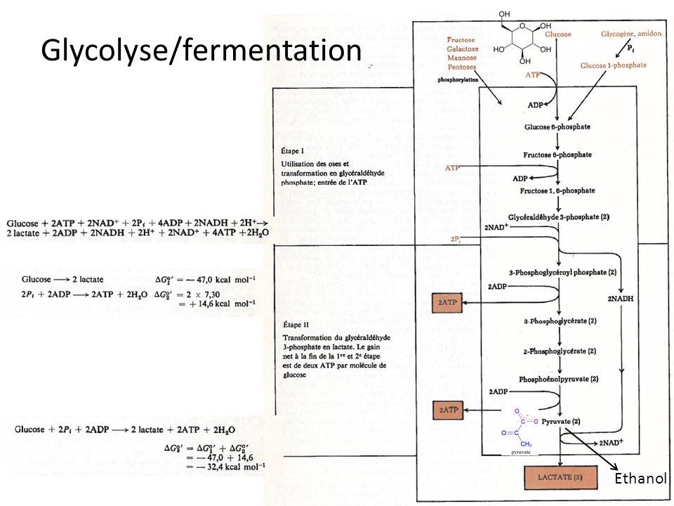 Glycolyse/fermentation