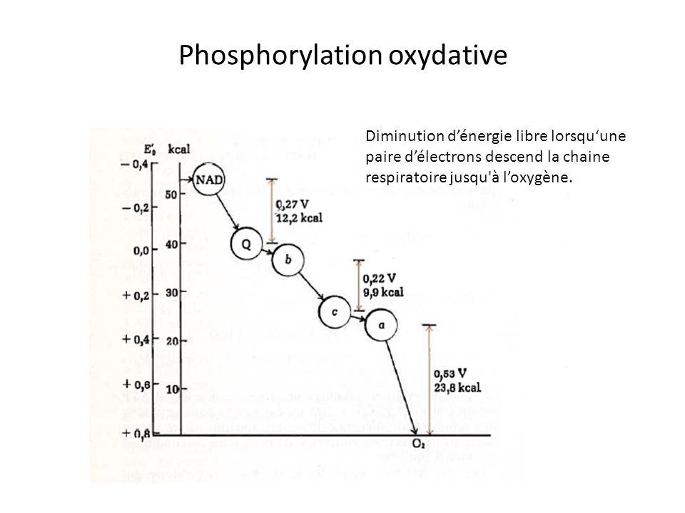 Phosphorylation oxydative