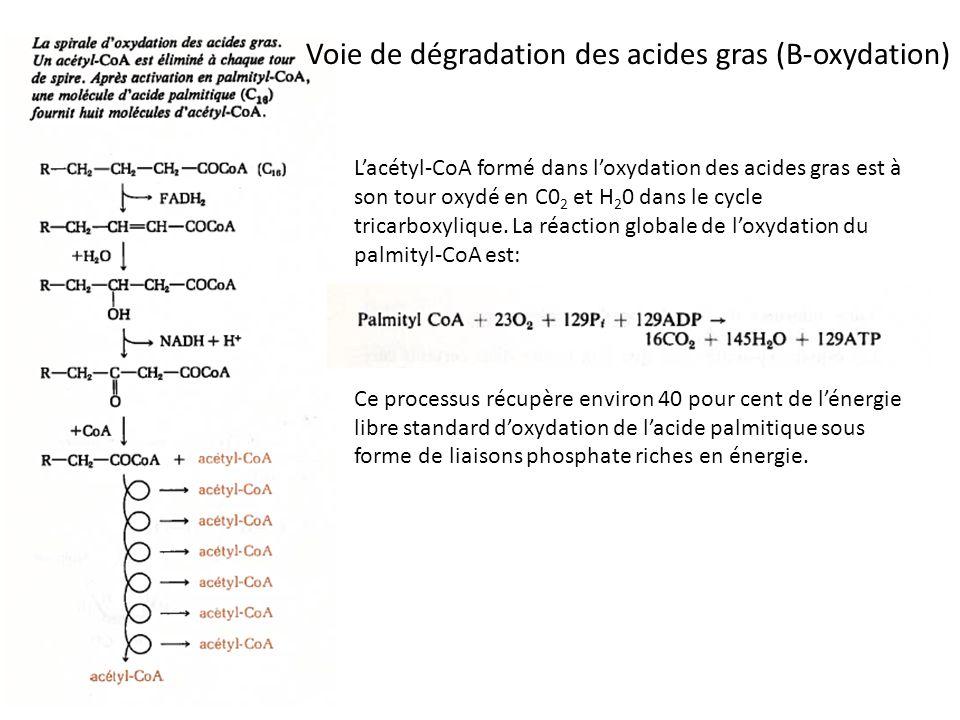 Voie de dégradation des acides gras (B-oxydation)
