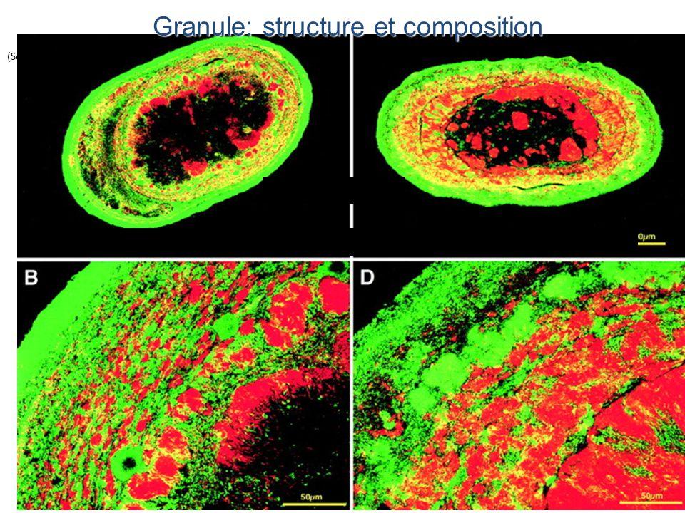 Granule: structure et composition