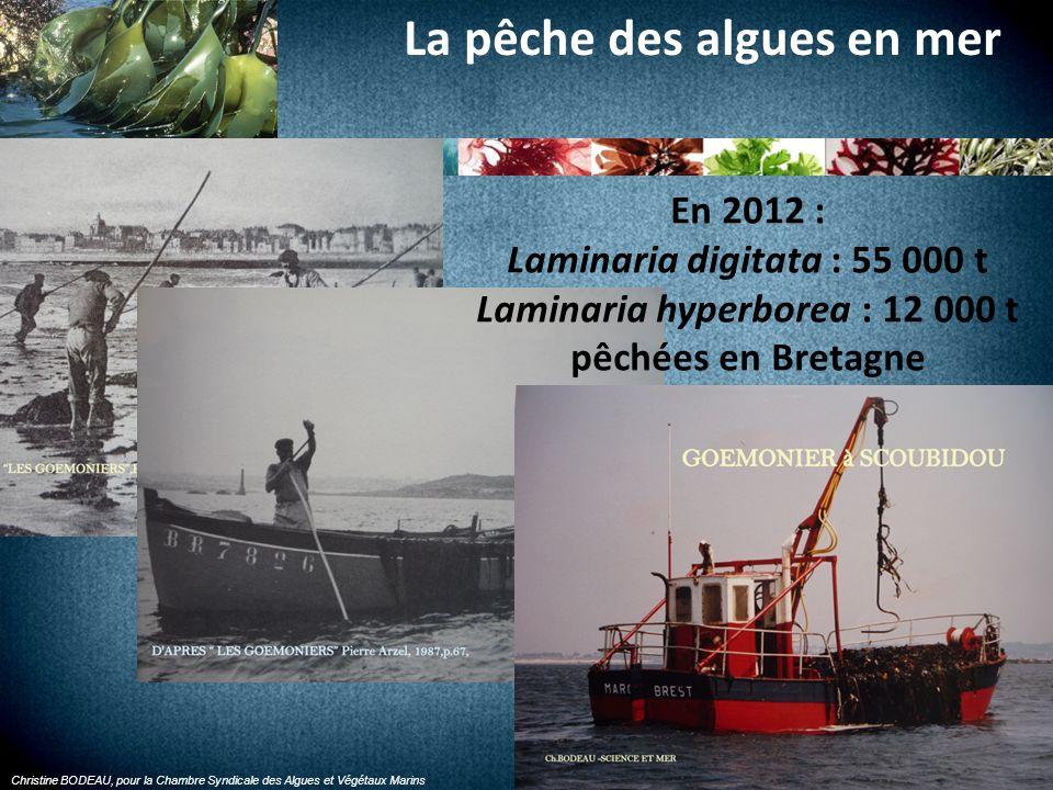 La pêche des algues en mer