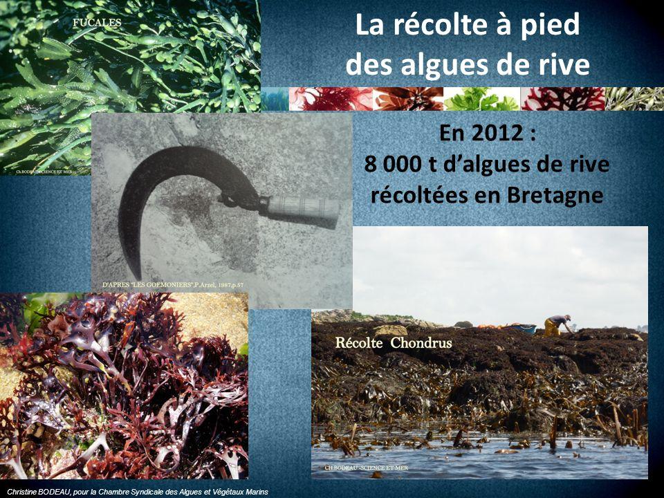 8 000 t d'algues de rive récoltées en Bretagne